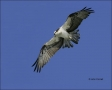 Osprey;Flight;one-animal;close_up;color-image;nobody;photography;day;birds;anima